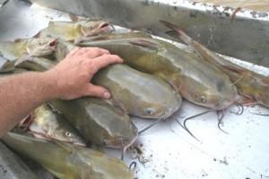 ten-catfish